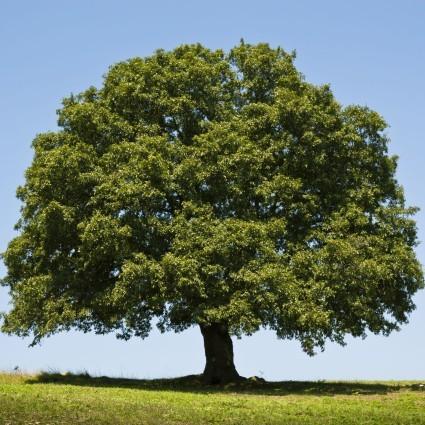oak-tree-full-425x425